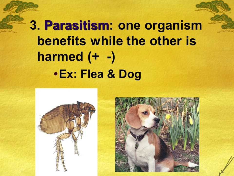 Parasitism 3. Parasitism: one organism benefits while the other is harmed (+ -)  Ex: Flea & Dog