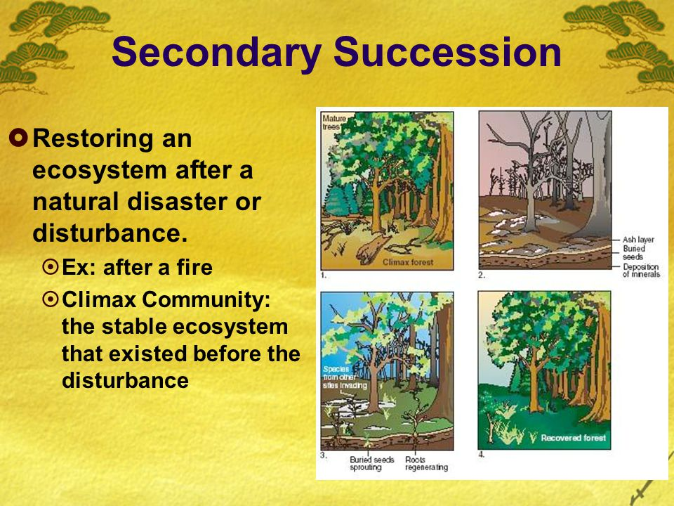 Secondary Succession  Restoring an ecosystem after a natural disaster or disturbance.  Ex: after a fire  Climax Community: the stable ecosystem tha