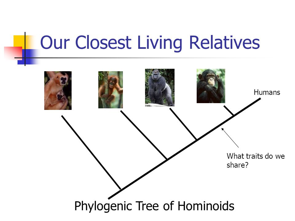 Our Closest Living Relatives Humans What traits do we share Phylogenic Tree of Hominoids