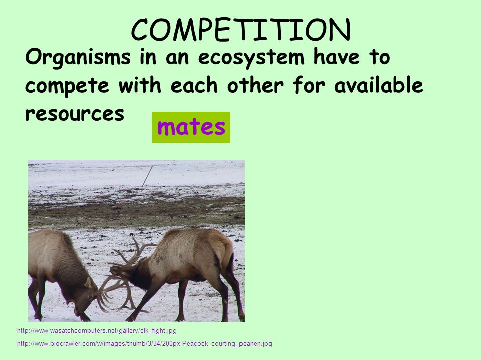 COMPETITION Organisms in an ecosystem have to compete with each other for available resources mates http://www.wasatchcomputers.net/gallery/elk_fight.jpg http://www.biocrawler.com/w/images/thumb/3/34/200px-Peacock_courting_peahen.jpg