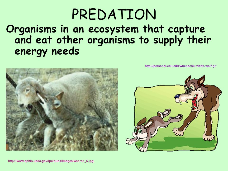 PREDATION Organisms in an ecosystem that capture and eat other organisms to supply their energy needs http://personal.ecu.edu/wuenschk/rabbit-wolf.gif