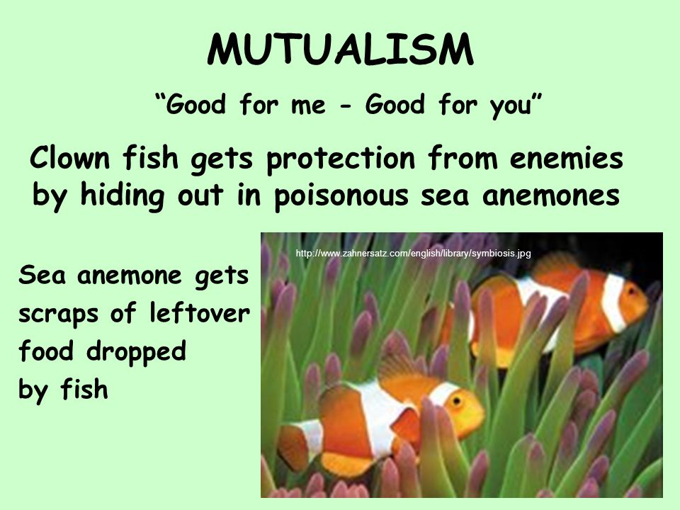 MUTUALISM Good for me - Good for you Clown fish gets protection from enemies by hiding out in poisonous sea anemones http://www.zahnersatz.com/english/library/symbiosis.jpg Sea anemone gets scraps of leftover food dropped by fish