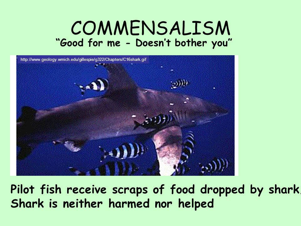 COMMENSALISM Good for me - Doesn't bother you http://www.geology.wmich.edu/gillespie/g322/Chapters/C16shark.gif Pilot fish receive scraps of food dropped by shark; Shark is neither harmed nor helped