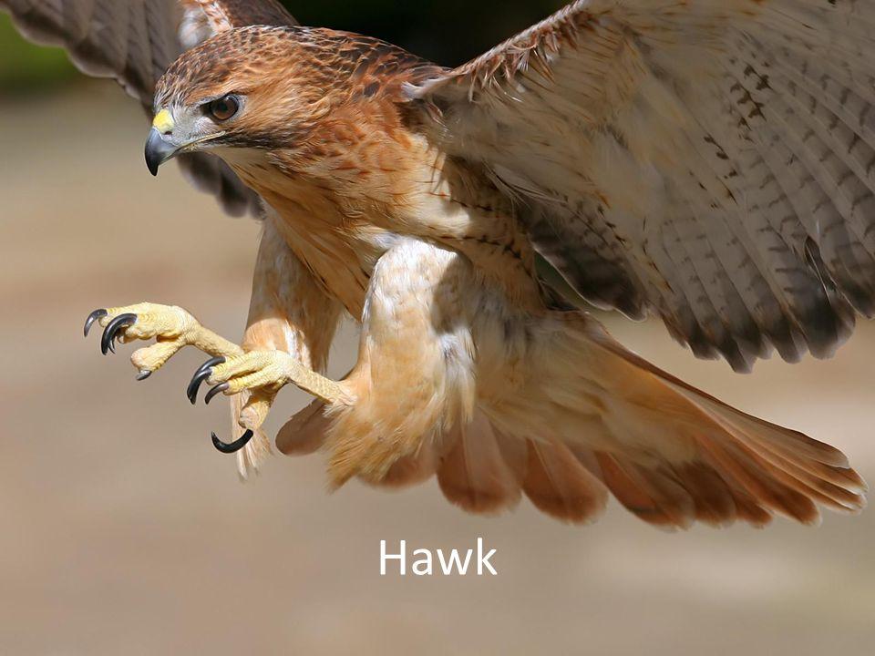 Hawk vs Hawk Brutal battle leaves one hawk triumphant, and one poor hawk gravely injured – Winner = 50 points – Loser = - 100 points