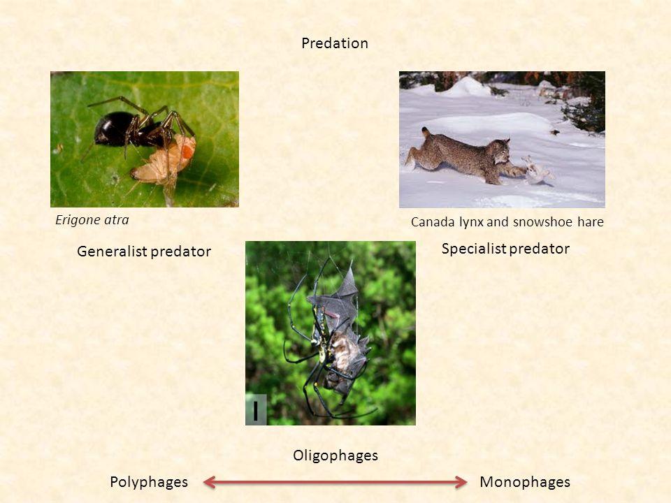 Predation Erigone atra Generalist predator Polyphages Specialist predator Monophages Canada lynx and snowshoe hare Oligophages
