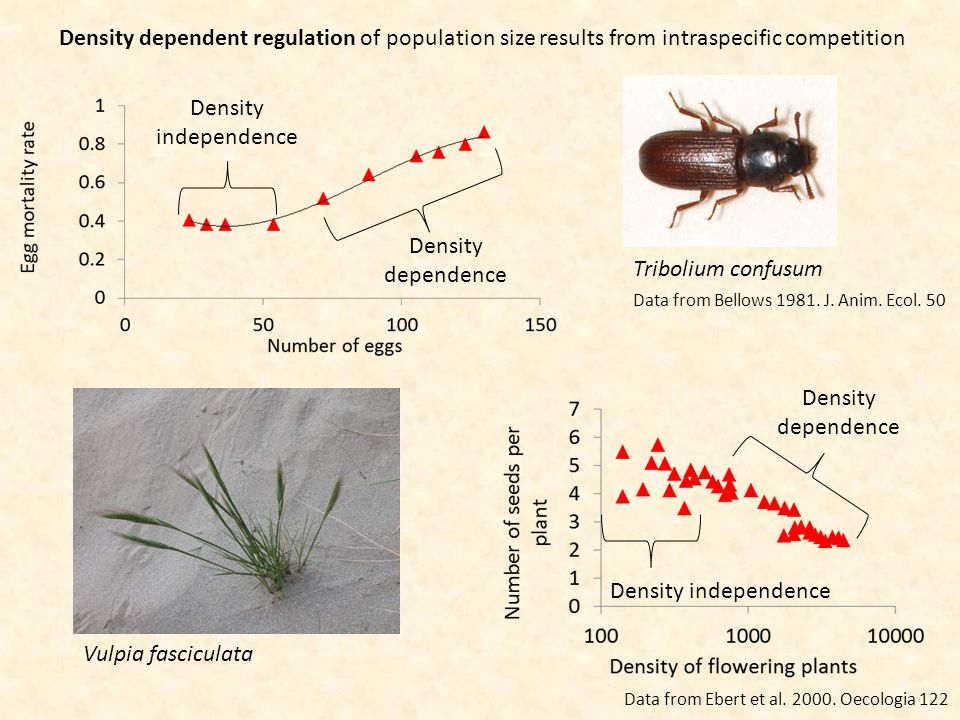 Density independence Density dependence Density dependent regulation of population size results from intraspecific competition Vulpia fasciculata Density independence Density dependence Tribolium confusum Data from Ebert et al.