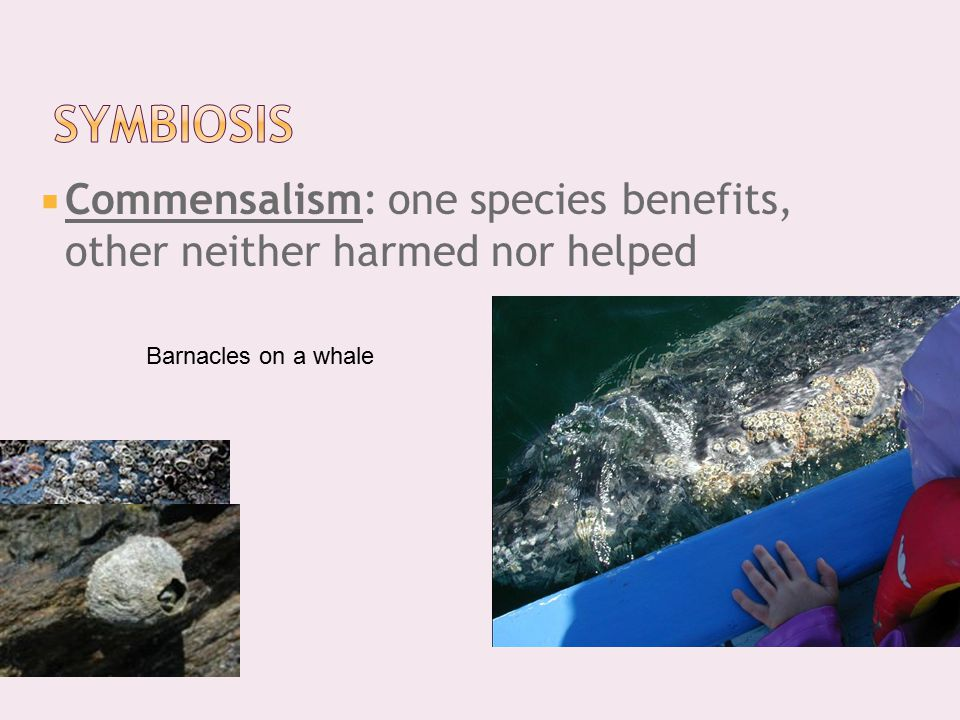  Commensalism: one species benefits, other neither harmed nor helped Barnacles on a whale