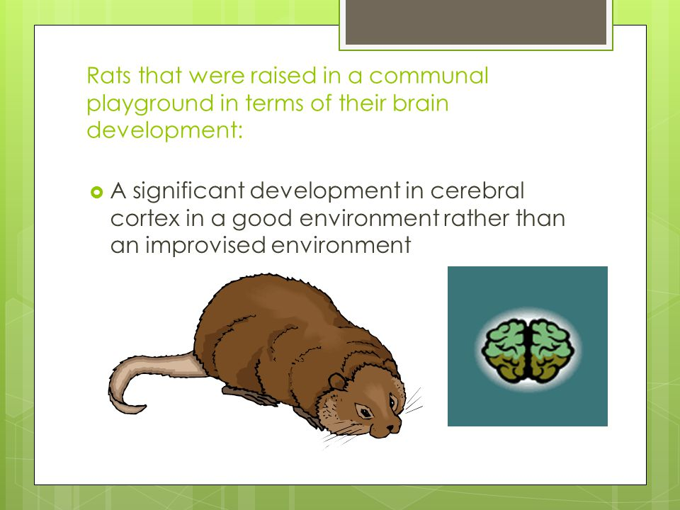 Rats that were raised in a communal playground in terms of their brain development:  A significant development in cerebral cortex in a good environme