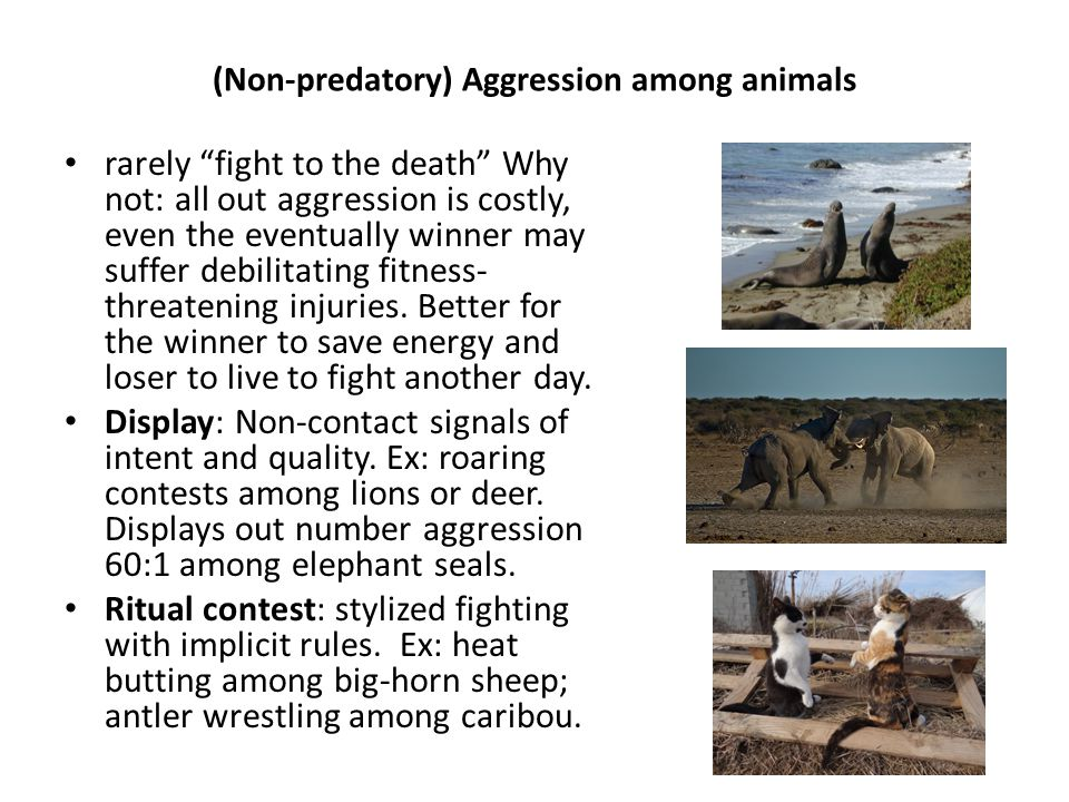 (Non-predatory) Aggression among animals rarely fight to the death Why not: all out aggression is costly, even the eventually winner may suffer debilitating fitness- threatening injuries.