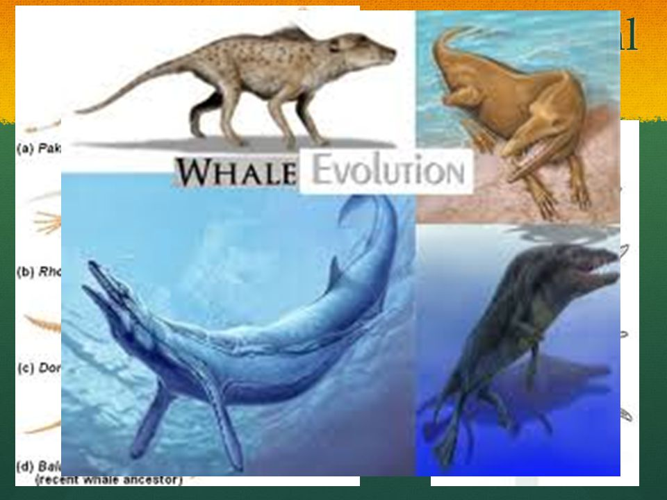 Transitional Species Fossil records show species which have features that are intermediate between those of hypothesized ancestors and later descendan