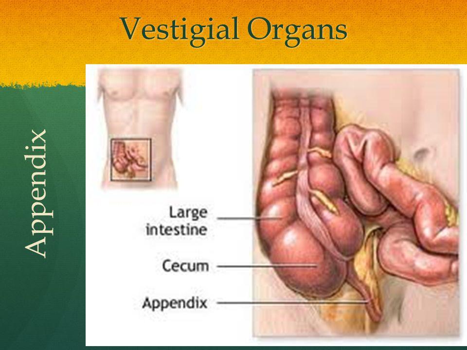 Vestigial Organs Appendix