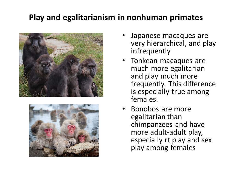Play and egalitarianism in nonhuman primates Japanese macaques are very hierarchical, and play infrequently Tonkean macaques are much more egalitarian and play much more frequently.