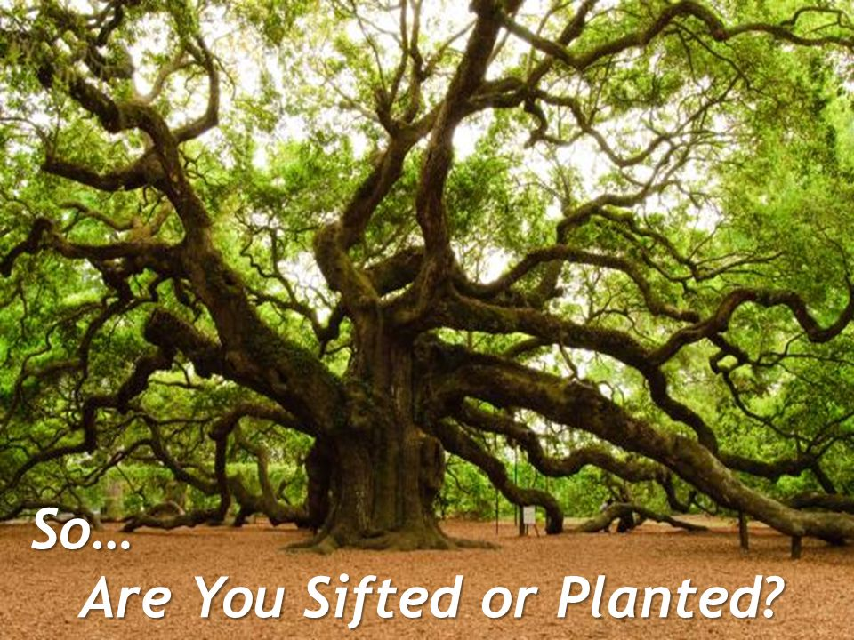 So… Are You Sifted or Planted