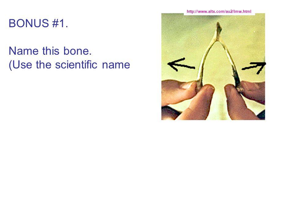 BONUS #1. Name this bone. (Use the scientific name http://www.altx.com/au2/lmw.html