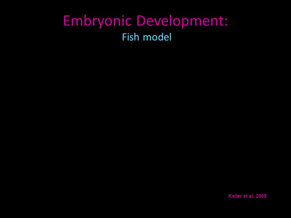 Embryonic Development: Fish model Keller et al. 2008
