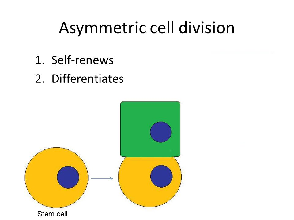 Asymmetric cell division 1.Self-renews 2.Differentiates Progenitor cell Stem cell