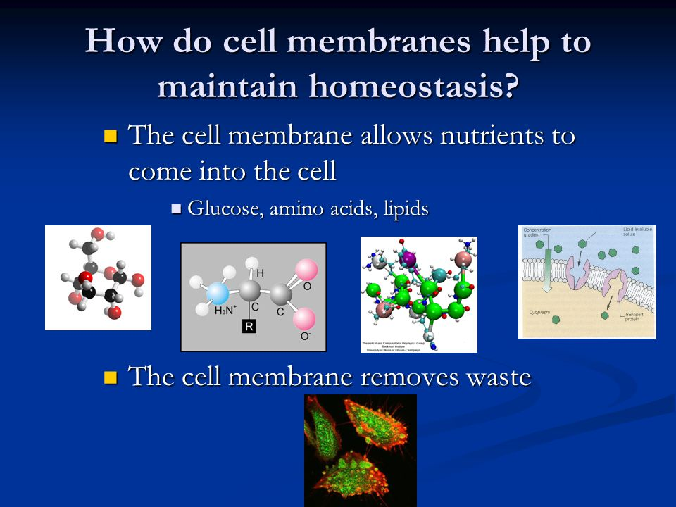 Selective Permeability The cell membrane lets some molecules in and keeps others out The cell membrane lets some molecules in and keeps others out EX.