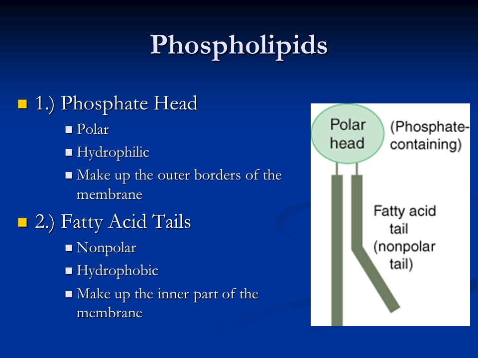 Phospholipids 1.) Phosphate Head 1.) Phosphate Head Polar Polar Hydrophilic Hydrophilic Make up the outer borders of the membrane Make up the outer bo