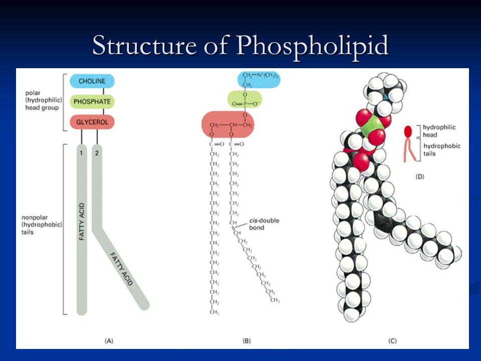 Structure of Phospholipid