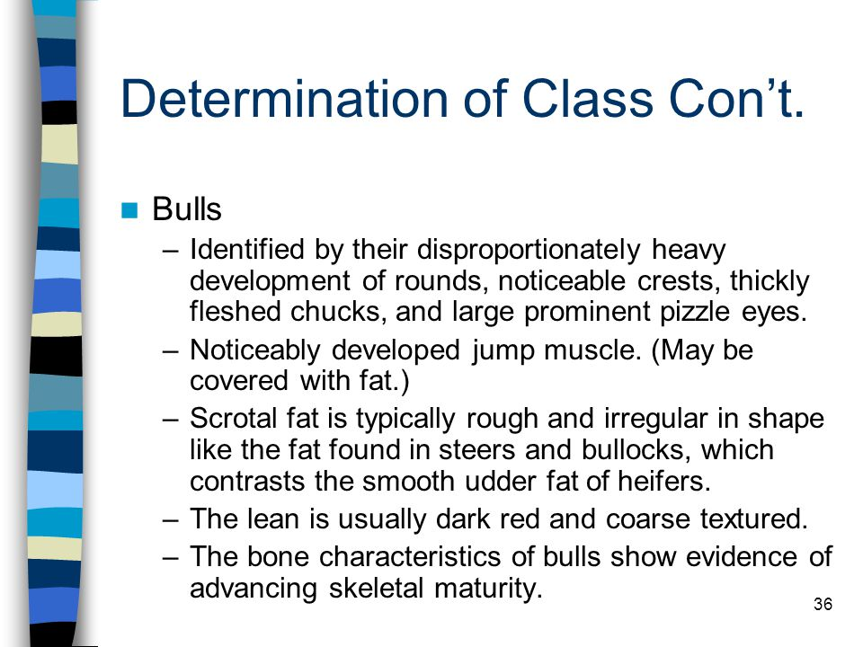 36 Determination of Class Con't. Bulls –Identified by their disproportionately heavy development of rounds, noticeable crests, thickly fleshed chucks,