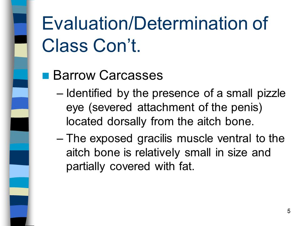 5 Evaluation/Determination of Class Con't. Barrow Carcasses –Identified by the presence of a small pizzle eye (severed attachment of the penis) locate