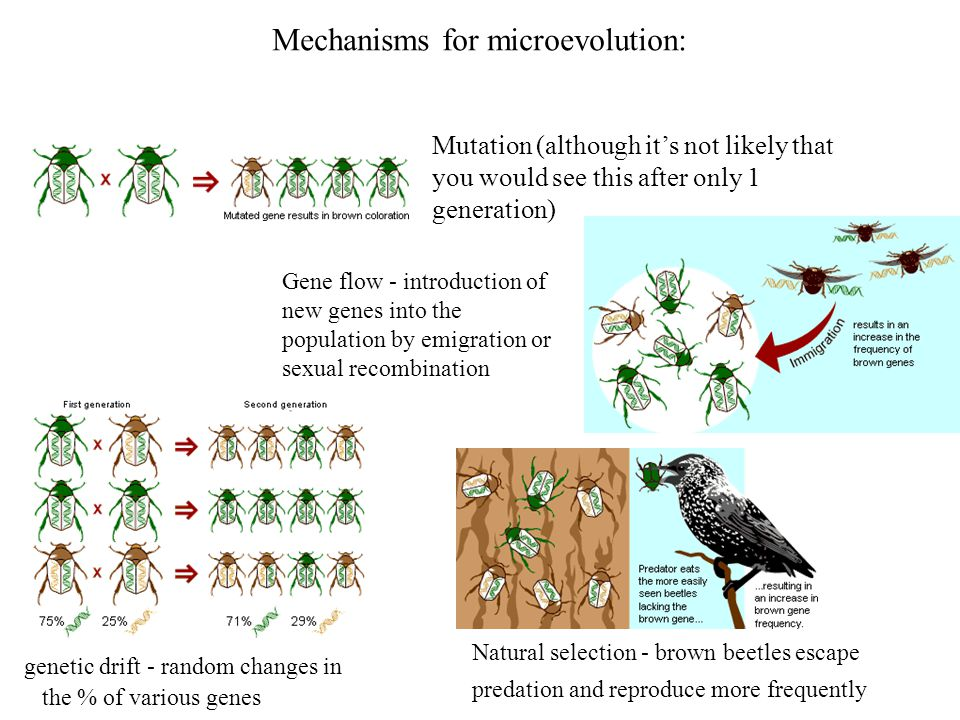 Mechanisms for microevolution: Mutation (although it's not likely that you would see this after only 1 generation) Gene flow - introduction of new gen