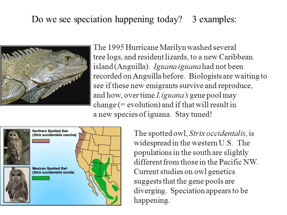 Do we see speciation happening today? 3 examples: The 1995 Hurricane Marilyn washed several tree logs, and resident lizards, to a new Caribbean island