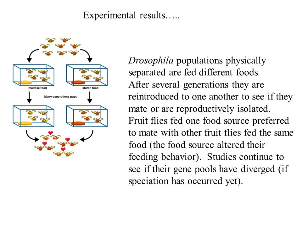 Experimental results….. Drosophila populations physically separated are fed different foods. After several generations they are reintroduced to one an