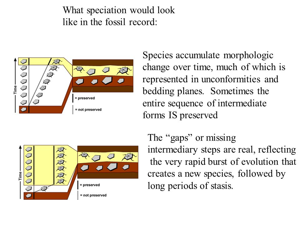 What speciation would look like in the fossil record: Species accumulate morphologic change over time, much of which is represented in unconformities