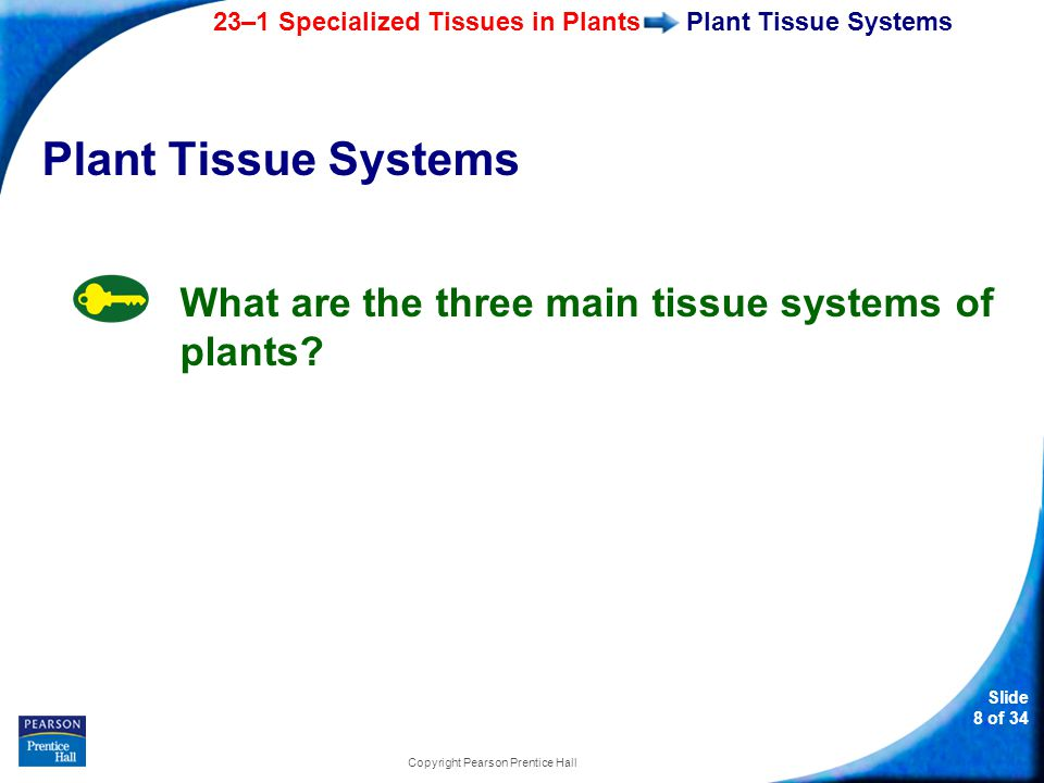 23–1 Specialized Tissues in Plants Slide 9 of 34 Copyright Pearson Prentice Hall Plants consist of three main tissue systems: dermal tissue vascular tissue ground tissue Plant Tissue Systems