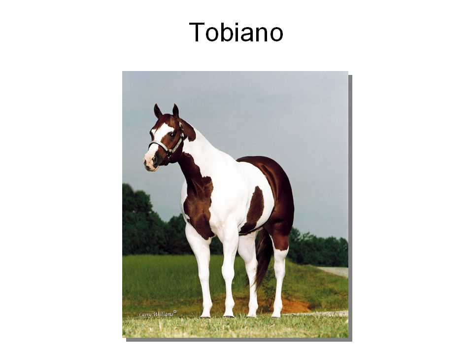 Paint Horse Color Patterns Tobiano: white markings usually cross the back between the withers and tail.