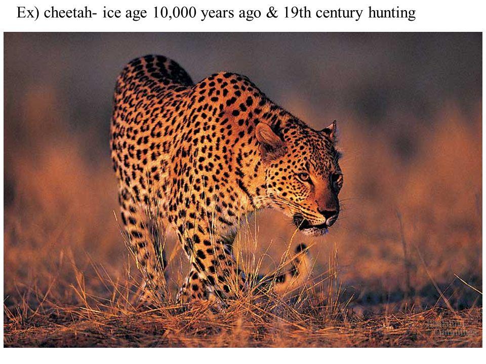 Ex) cheetah- ice age 10,000 years ago & 19th century hunting