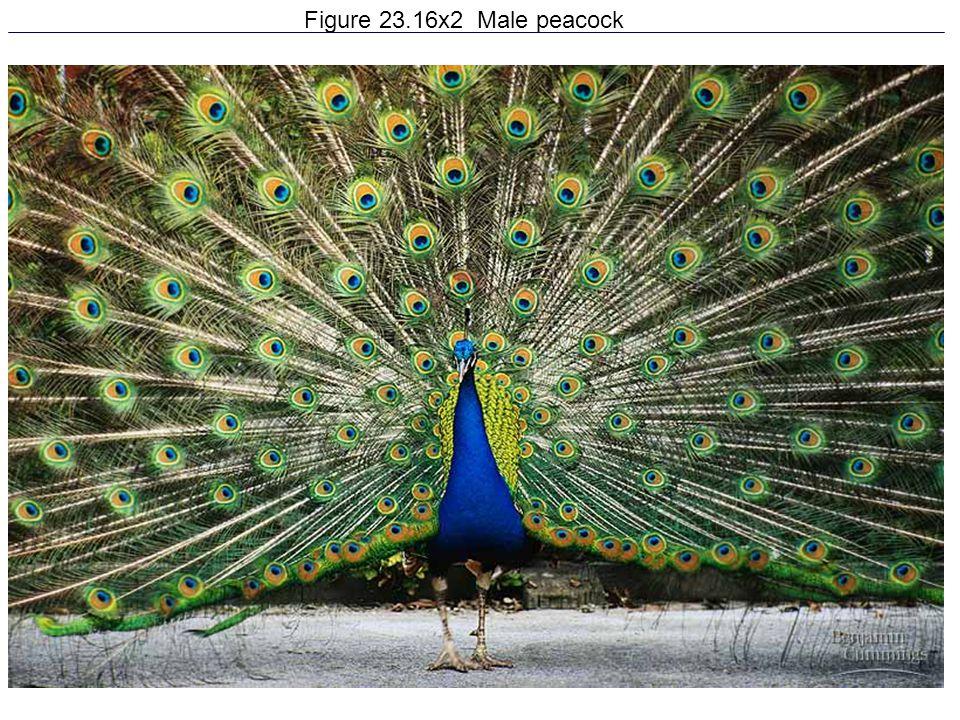 Figure 23.16x2 Male peacock