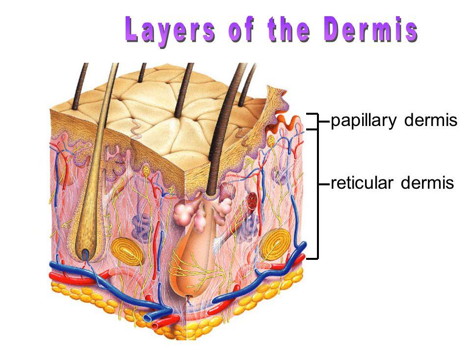 papillary dermis reticular dermis