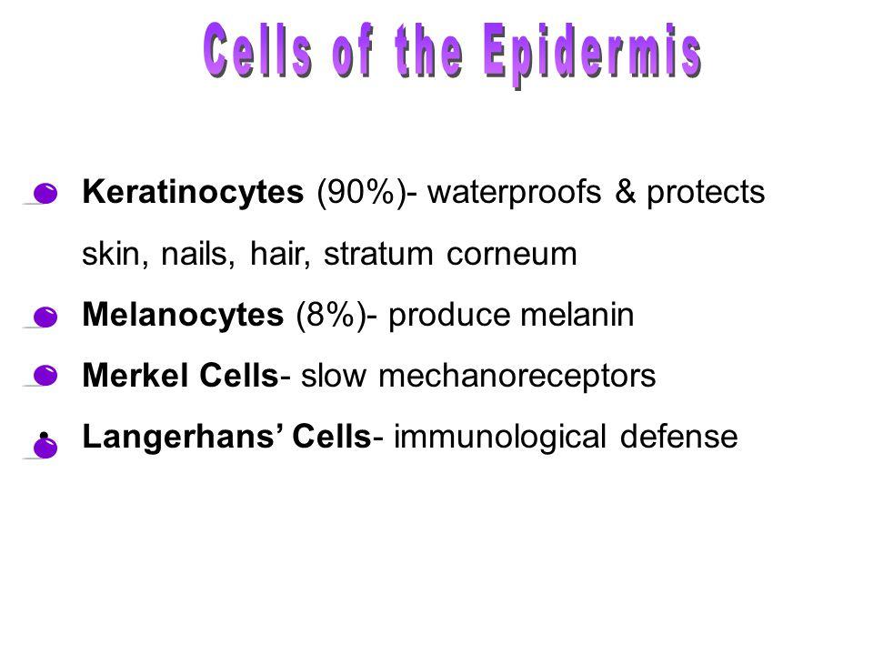 Keratinocytes (90%)- waterproofs & protects skin, nails, hair, stratum corneum Melanocytes (8%)- produce melanin Merkel Cells- slow mechanoreceptors Langerhans' Cells- immunological defense