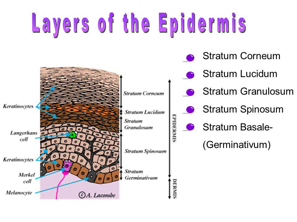 Stratum Corneum Stratum Lucidum Stratum Granulosum Stratum Spinosum Stratum Basale- (Germinativum)