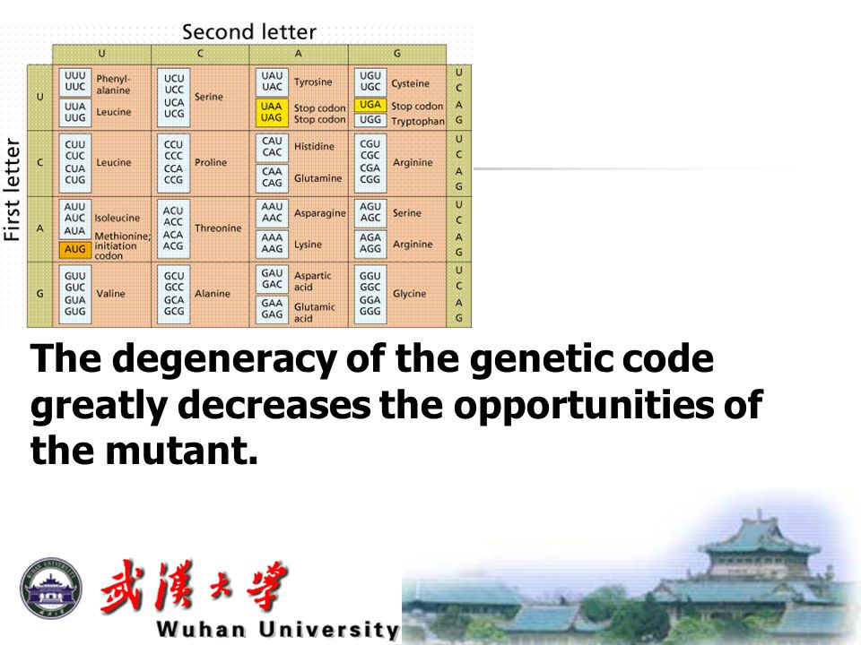 The degeneracy of the genetic code greatly decreases the opportunities of the mutant.