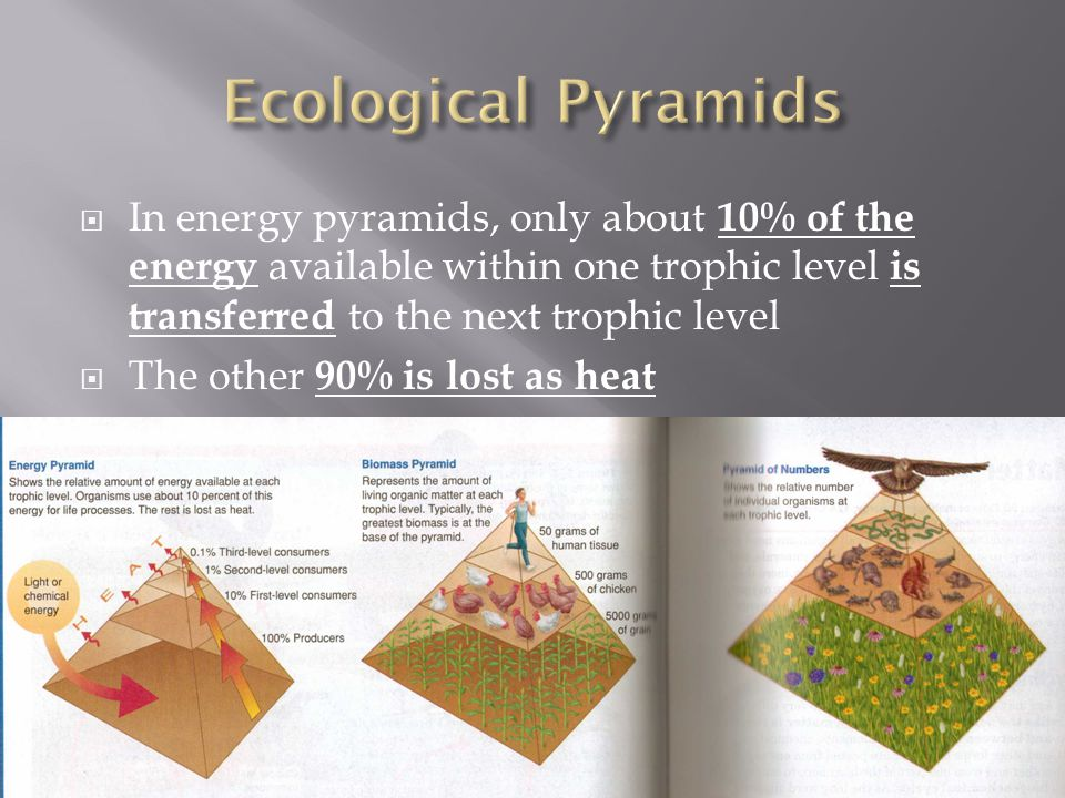  In energy pyramids, only about 10% of the energy available within one trophic level is transferred to the next trophic level  The other 90% is lost as heat