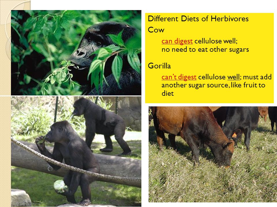 Cellulose Cell walls in plants ◦ herbivores can digest cellulose well ◦ most carnivores cannot digest cellulose  that's why they eat meat to get thei
