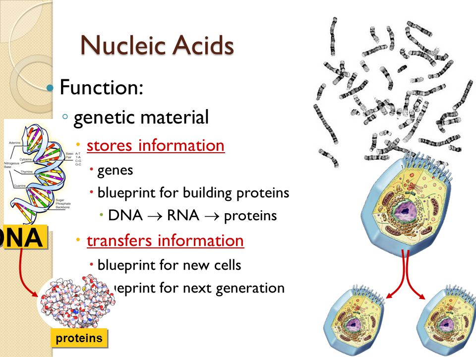The 4th type of biochemical macromolecules are the NUCLEIC ACIDS  The types of Nucleic Acids  DNA (DeoxyriboNucleic Acid)  RNA (RiboNucleic Acid)