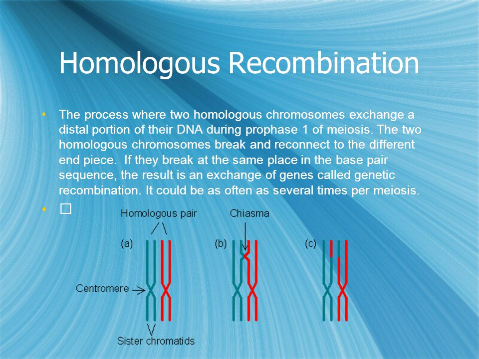Homologous Recombination  The process where two homologous chromosomes exchange a distal portion of their DNA during prophase 1 of meiosis. The two h