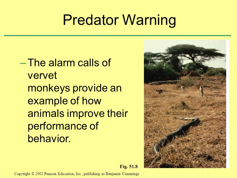 –The alarm calls of vervet monkeys provide an example of how animals improve their performance of behavior.