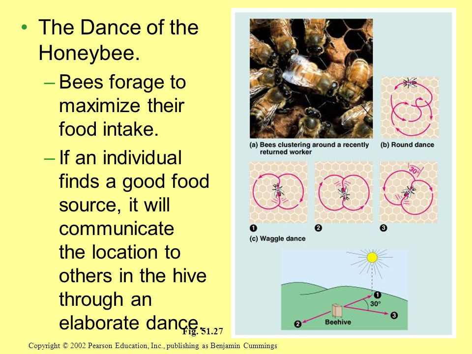 The Dance of the Honeybee.–Bees forage to maximize their food intake.
