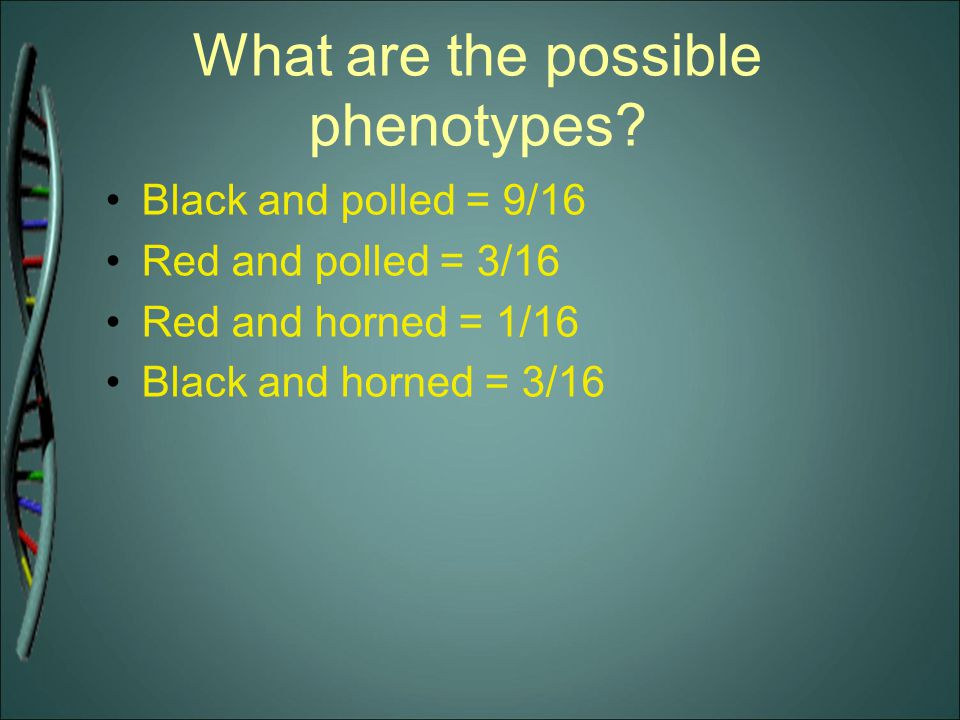 What are the possible phenotypes? Black and polled = 9/16 Red and polled = 3/16 Red and horned = 1/16 Black and horned = 3/16