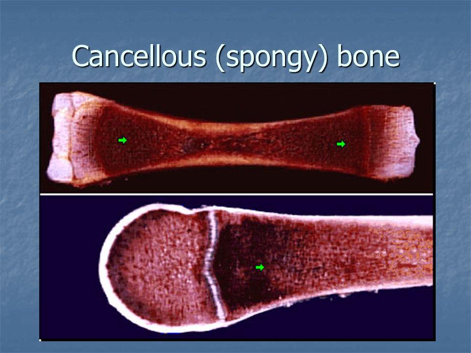 Cancellous (spongy) bone