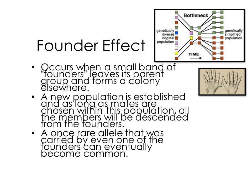 """Founder Effect Occurs when a small band of """"founders"""" leaves its parent group and forms a colony elsewhere. A new population is established and as lon"""