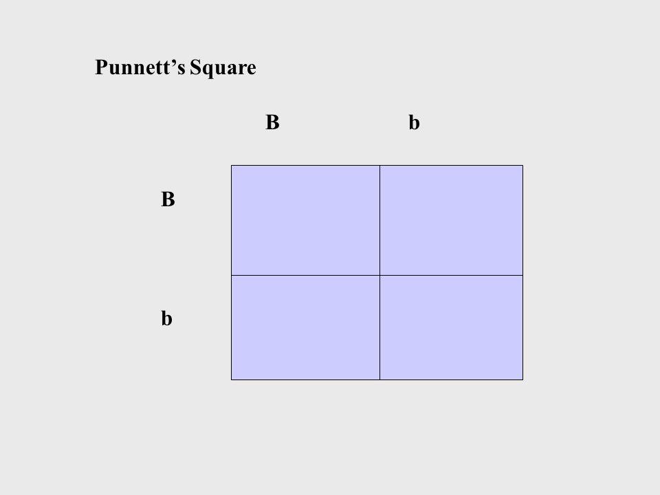 B b BbBb Punnett's Square
