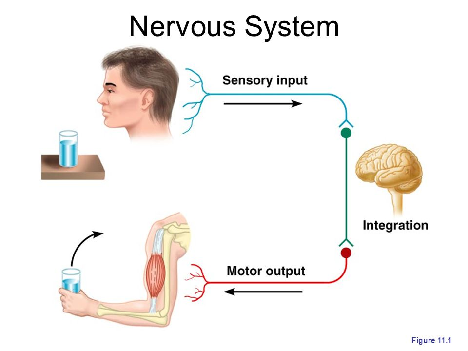 Organization of the Nervous System Central nervous system (CNS) –Brain and spinal cord –Integration and command center Peripheral nervous system (PNS) –Paired spinal and cranial nerves –Carries messages to and from the spinal cord and brain