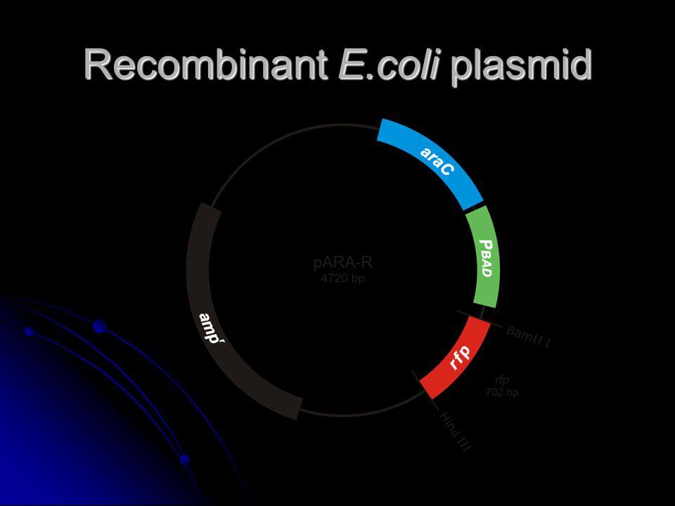 Recombinant E.coli plasmid