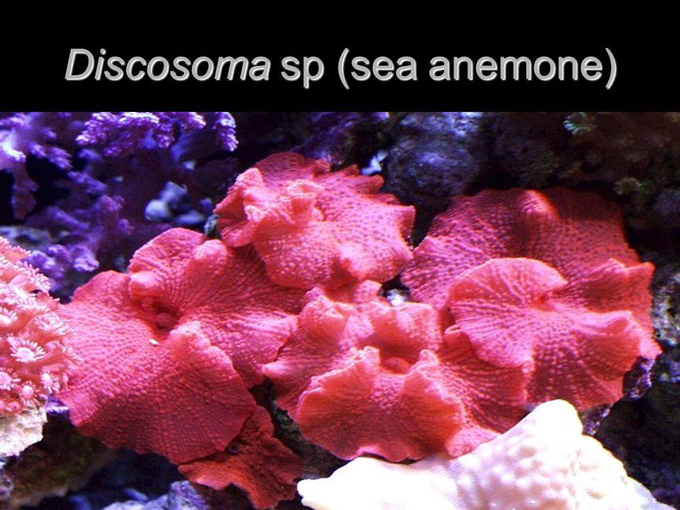 Discosoma sp (sea anemone)